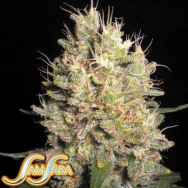Samsara Seeds Crazy Miss Hyde