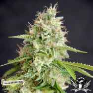 Cream of the Crop Seeds Double Cream