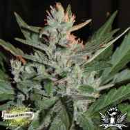 Cream of the Crop Seeds KO Crop Auto