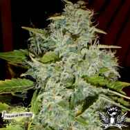 Cream of the Crop Seeds Psychofruit Auto
