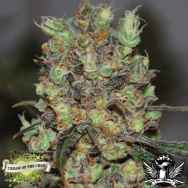 Cream of the Crop Seeds Purple Paralysis