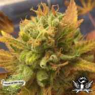 Cream of the Crop Seeds Black Gold Auto