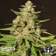 Cream of the Crop Seeds Hybrid X