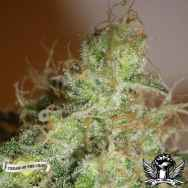 Cream of the Crop Seeds White Chronic