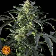 Barneys Farm Seeds Crimea Blue