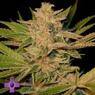 Gage Green Seeds Crimson Crush