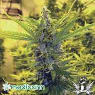 Medicann Seeds Critical Dawg