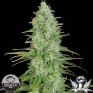 Dinafem Seeds Critical Jack