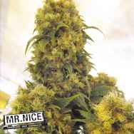 Mr Nice Seeds Critical Skunk