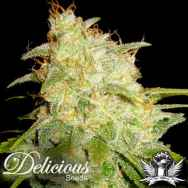 Delicious Seeds Critical Yumbolt