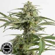Dinafem Seeds Critical Cheese AUTOFLOWERING