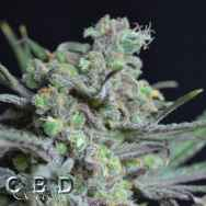 CBD Seeds Critical