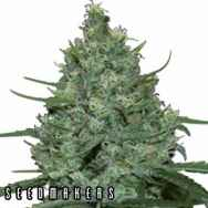Seedmakers Seeds Critical