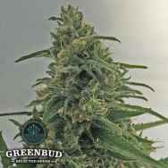 Greenbud Seeds Critical Early Version