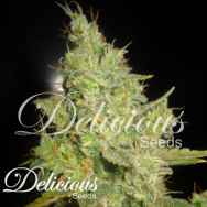 Delicious Seeds Critical Kali Mist