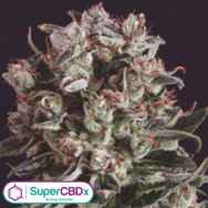SuperCBDx Seeds Critical Mass x SCBDX
