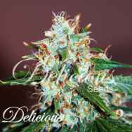 Delicious Seeds Critical Nevilles Haze 2.0