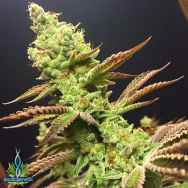 Exotic Genetix Seeds Citrique