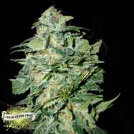 Cream of the Crop Seeds Crop Circle AUTO