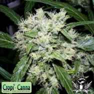 Cropi Canna Seeds Red Grapefruit
