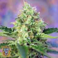 Sweet Seeds AUTO Crystal Candy