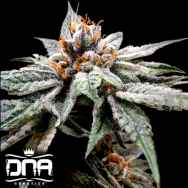 DNA Genetics Seeds DJ's Gold