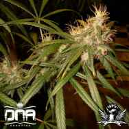 DNA Genetics Seeds C13 Haze