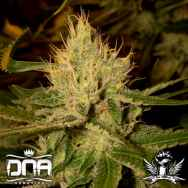 DNA Genetics Seeds Cannalope Haze