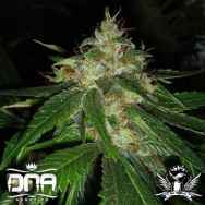 DNA Genetics Seeds Connie Chung