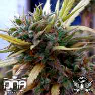 DNA Genetics Seeds Hash Plant Haze