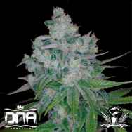 DNA Genetics Seeds Kandy Kush x Skunk
