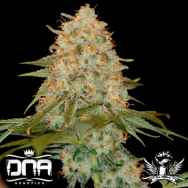DNA Genetics Seeds La Chocolat