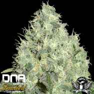 DNA Genetics Seeds Limited Collection 91 Krypt