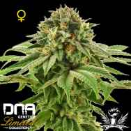 DNA Genetics Seeds Limited Collection Grape LA