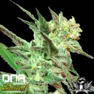 DNA Genetics Seeds Limited Collection Honey BooBoo