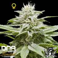 DNA Genetics Seeds Limited Collection Island