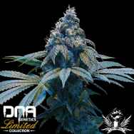 DNA Genetics Seeds Limited Collection Kush Dream