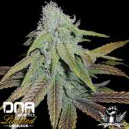 DNA Genetics Seeds Limited Collection P.C.K