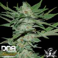 DNA Genetics Seeds Limited Collection Sour Krypt