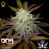 DNA Genetics Seeds Limited Collection Purple LA