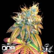 DNA Genetics Seeds Sour Secret