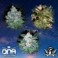 DNA Genetics Seeds Skunk Train Collectors Pack