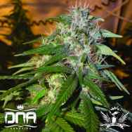 DNA Genetics Seeds Sour Cream