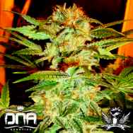 DNA Genetics Seeds Stacked Kush