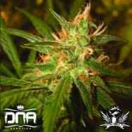 DNA Genetics Seeds Sweet Haze