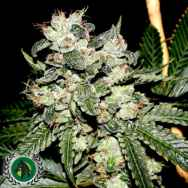 DarkHorse Genetics Seeds Original Bruce Banner