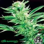 De Sjamaan Seeds Easy Rider