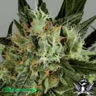 De Sjamaan Seeds Shaman's High