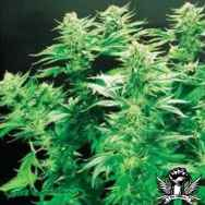 De Sjamaan Seeds Thai Widow