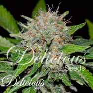 Delicious Seeds Deep Mandarin
